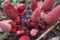 công dụng nấm ngọc cẩu tỏa dương