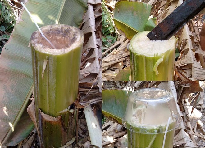 Từ lâu chuối hột rừng đã được xem như là vị cứu tinh cuả nhiều bệnh nhân, trong đó có bệnh nhân tiều đường. Dưới đây là hướng dẫn cách sử dụng các bộ phận của cây chuối hột để điều trị bệnhtiểu đườngvô cùng hiệu quả. Công dụng của cây chuối hột Cây chuối […]